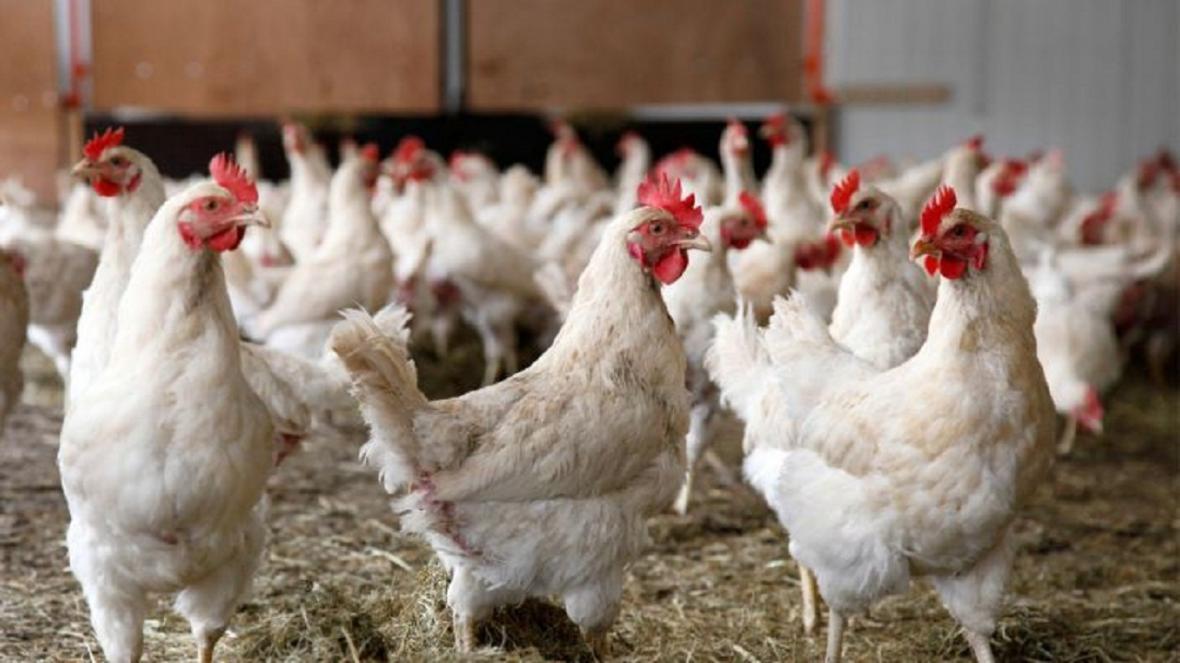 مرغ مازاد بر فراوری در سمنان خریداری می گردد
