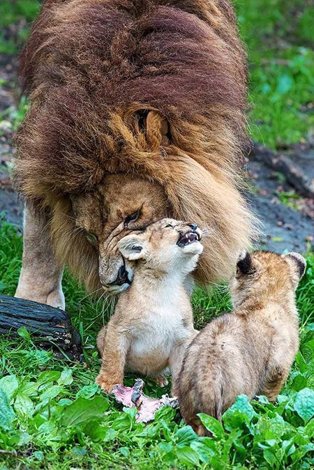 وقتی شیرِ پدر مراقبت از بچه ها را برعهده می گیرد