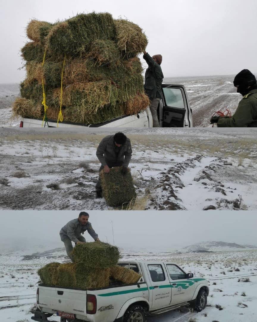 آهوان منطقه حفاظت شده باشگل تاکستان با پخش علوفه تغذیه شدند