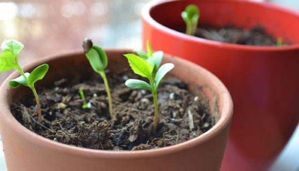 نحوه کاشت هسته سیب در گلدان به صورت گام به گام